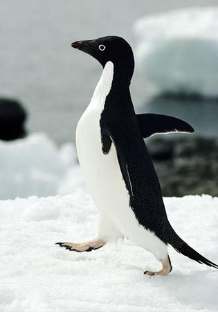 adelie-penguin.jpg