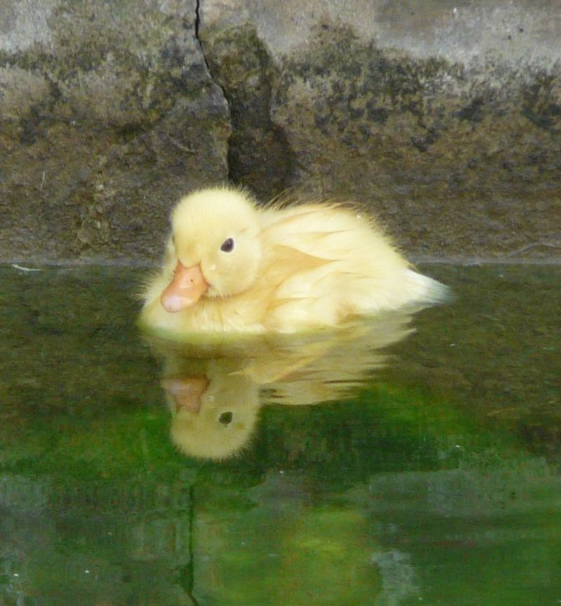 yellow-duckling.JPG