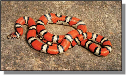 Milk snake